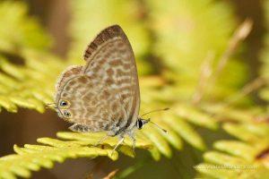 mariposa gris estriada (Leptotes pirithous = Syntarucus pirithous)