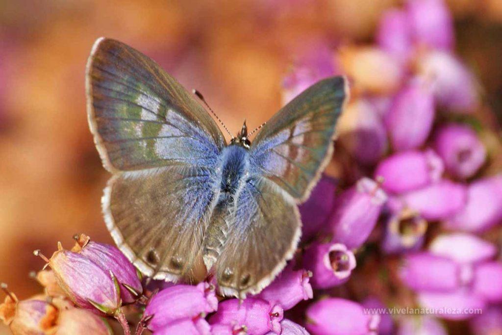 Hembra de la mariposa gris estriada (Leptotes pirithous = Syntarucus pirithous)