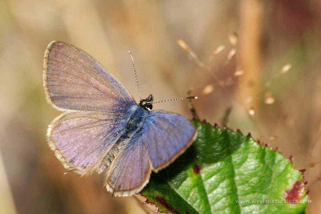Macho de la mariposa gris estriada (Leptotes pirithous = Syntarucus pirithous)