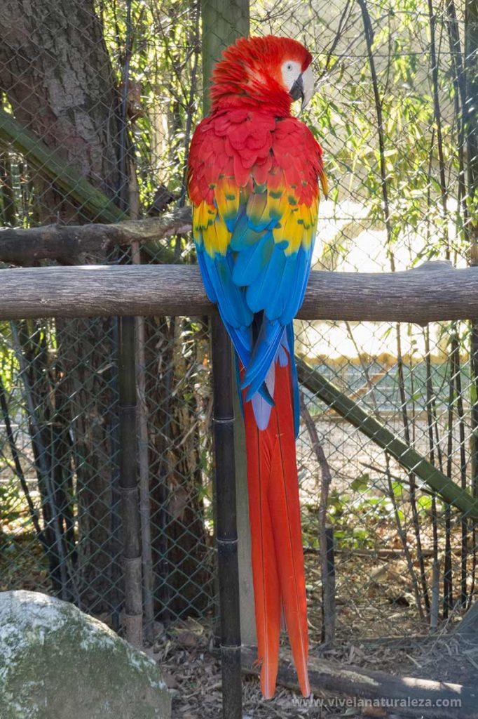 Guacamayo rojo, tambien llamado guacamaya bandera o guacamayo macao (Ara macao)
