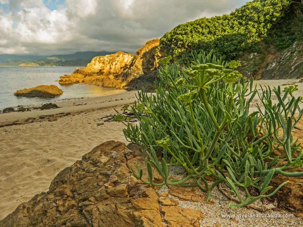 Hinojo marino (Crithmum maritimum) creciendo en su habitat natural