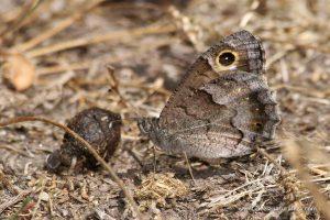 mariposa sátiro moreno (Hipparchia statilinus)