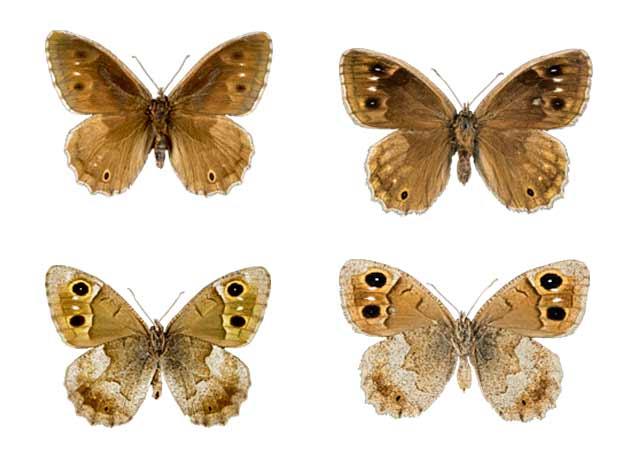 Mariposa satiro moreno sobre fondo blanco (Hipparchia statilinus, Neohipparchia statilinus)