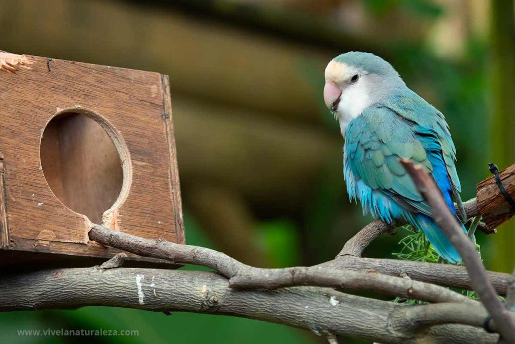 Inseparable cara de melocotón (Agapornis roseicollis) de color azul