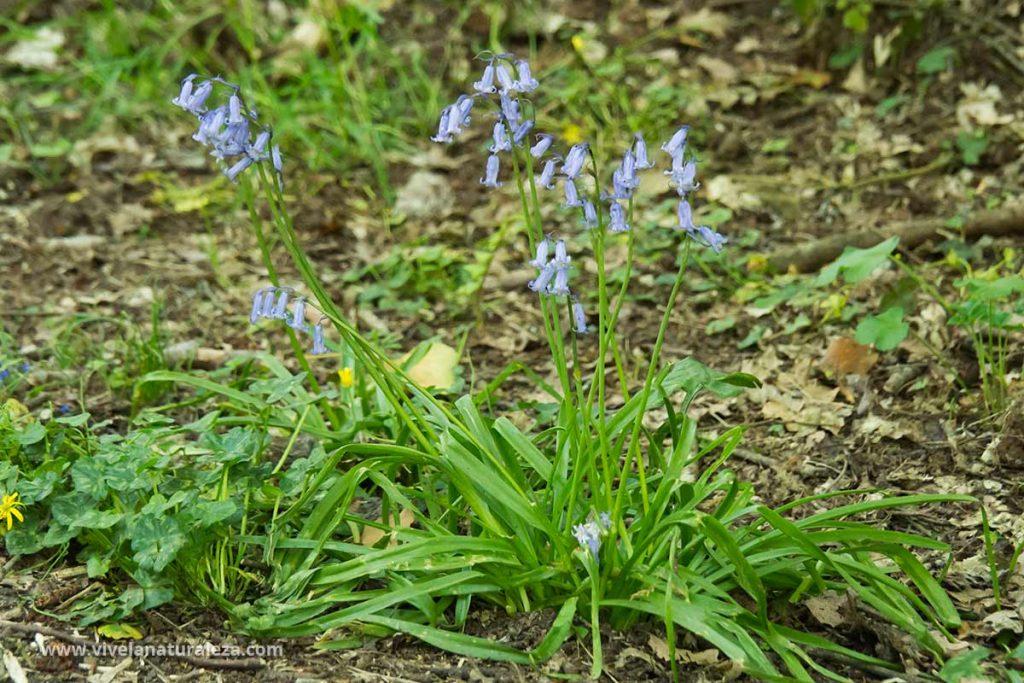 Plantas de jacinto de los bosques o jacinto silvestre con flor (Hyacinthoides non-scripta)