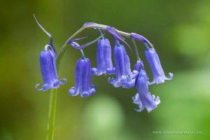 Jacinto de los bosques o jacinto silvestre - Hyacinthoides non-scripta