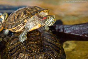 Tortuga de Florida o Jicotea elegante - Trachemys scripta elegans