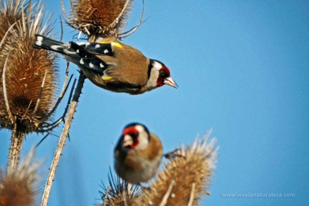 Dos jilgueros (Carduelis carduelis) alimentándose de las semillas de los cardos