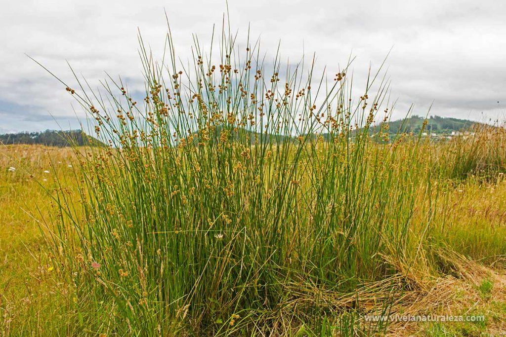 junto agrupado o junco churrero (Scirpus holoschoenus) en su habitat natural.