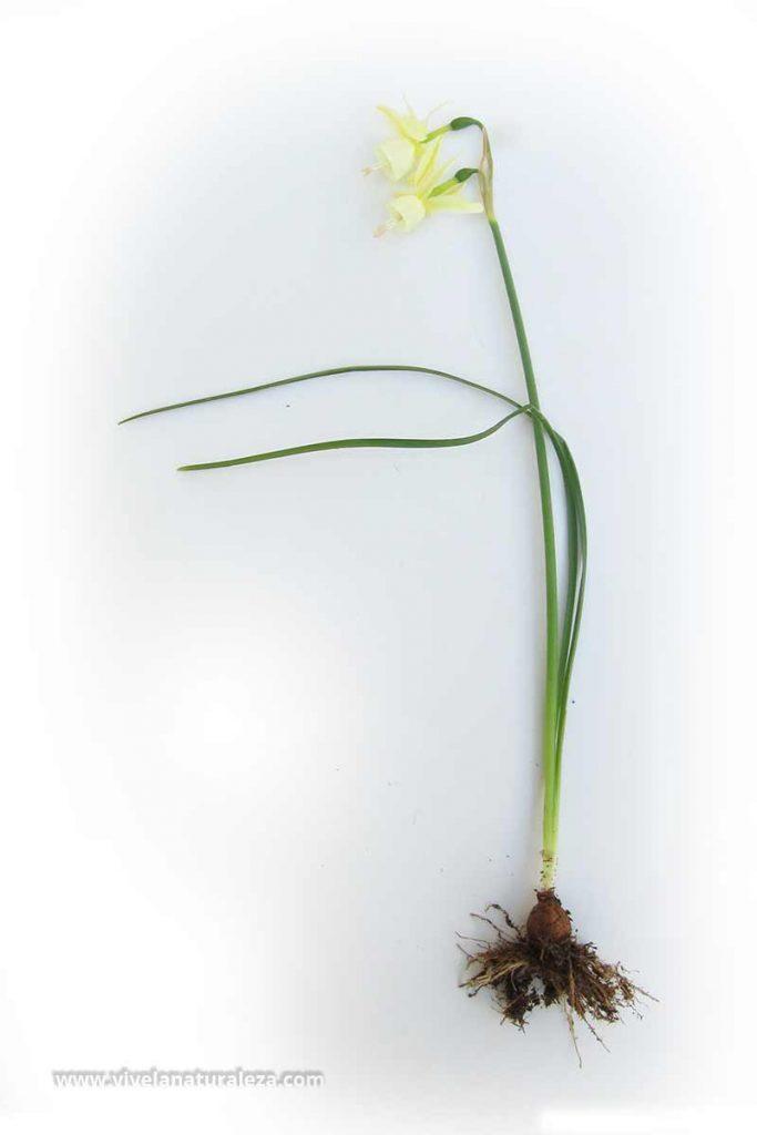 Planta de junquillo blanco (Narcissus triandrus) sobre fondo blanco