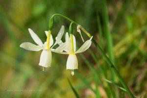 junquillo blanco (Narcissus triandrus)