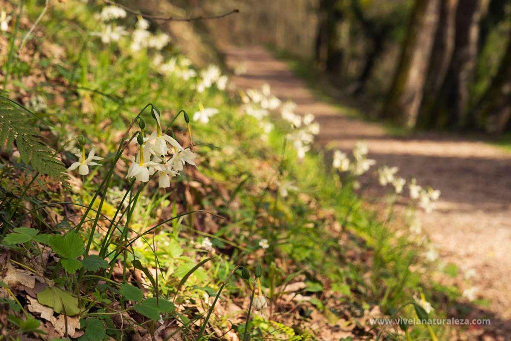Junquillo blanco (Narcissus triandrus) en su hábitat natural
