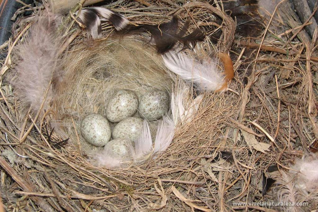Nido de labandera blanca (Motacilla alba) con 5 huevos