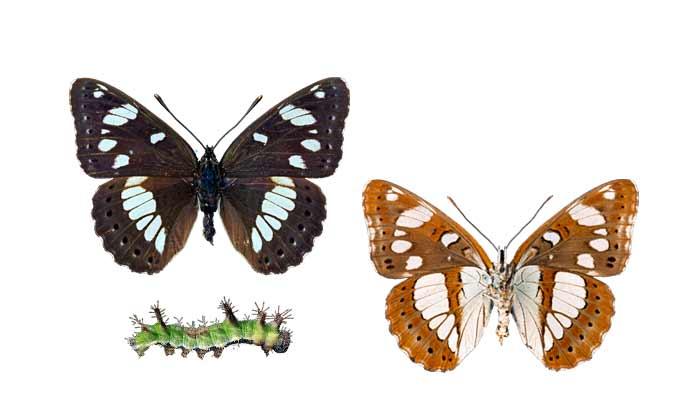 Vista de las partes superior e inferior de la mariposa y la oruga sobre fondo blanco