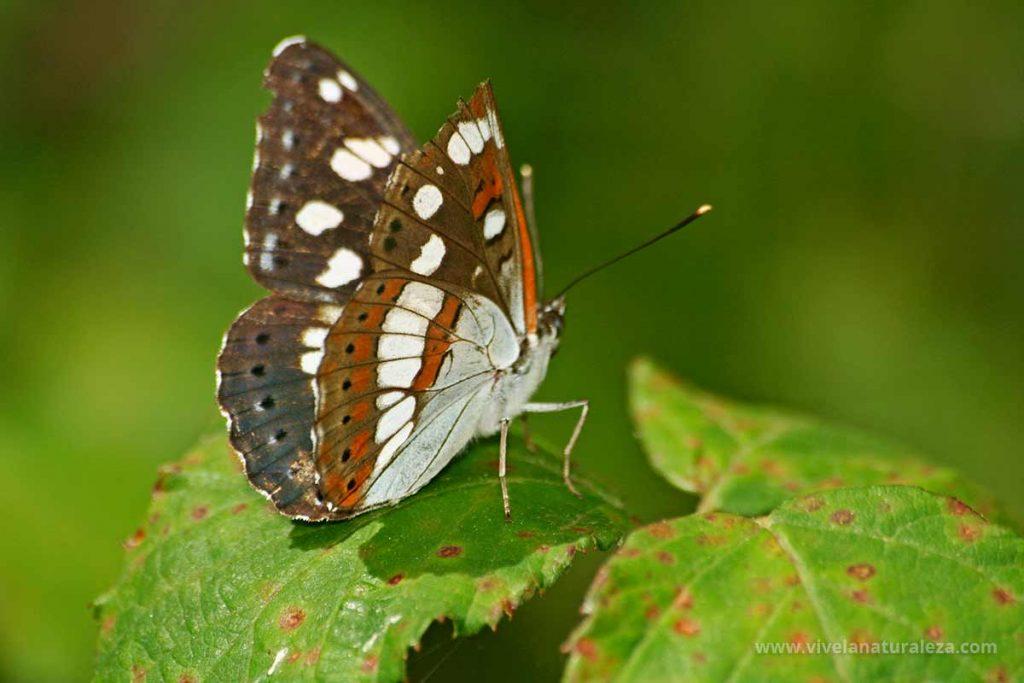 Ninfa de los arroyos (Limenitis reducta) con las alas cerradas