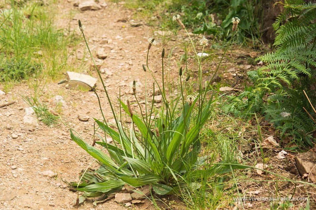 Llanten menor (Plantago lanceolata) en su habitat natural