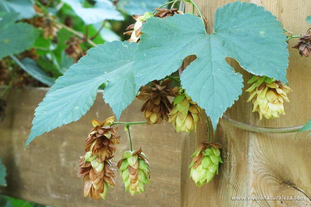 Planta del lupulo (Humulus lupulus)