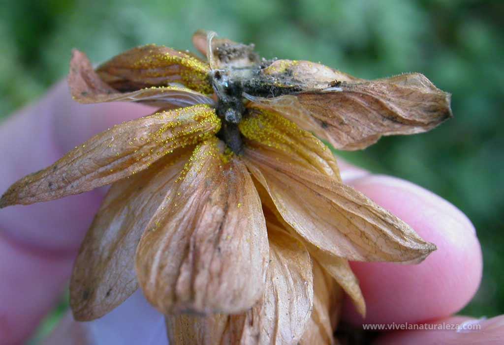 Flor femenina del lupulo (Humulus lupulus) donde se puede apreciar el polvo de lupulina