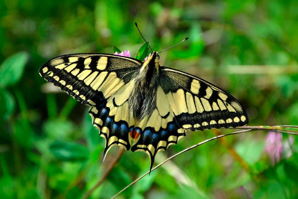Papilio machaon – Macaón
