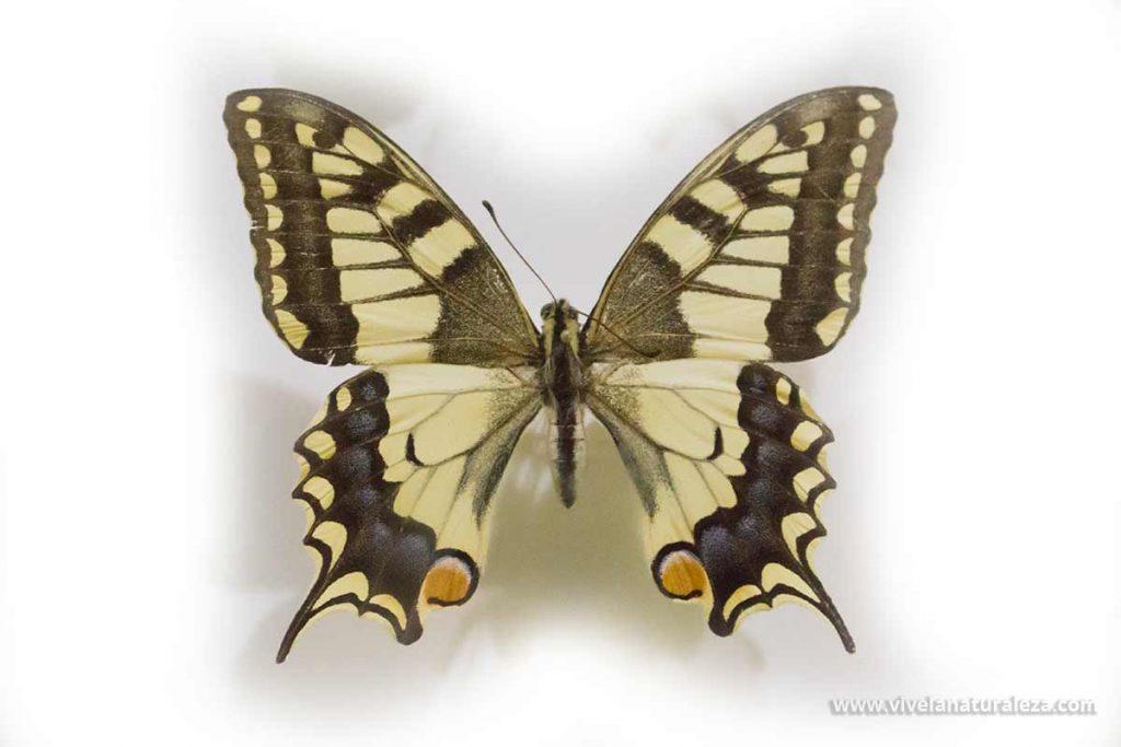Mariposa macaon (Papilio machaon) sobre fondo blanco