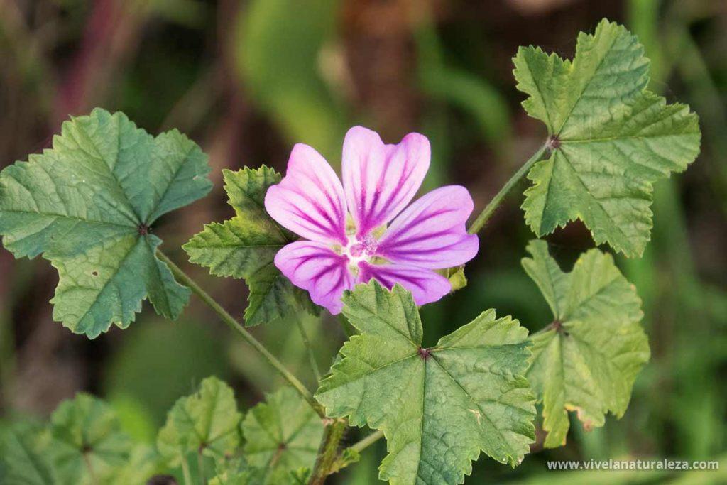 Los beneficios de la malva se obtienen del te de flores de malva