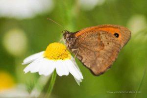 mariposa loba (Maniola Jurtina)