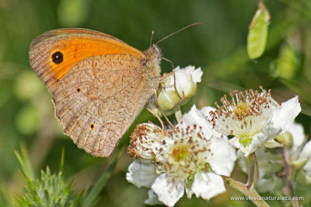 Macho de loba. Mariposa con las alas cerradas. (Maniola jurtina)