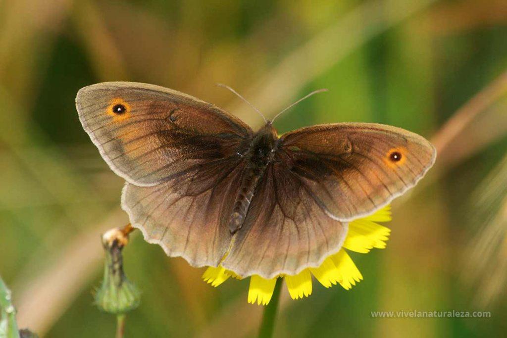 Loba mariposa macho (Maniloa jurtina). Alas abiertas