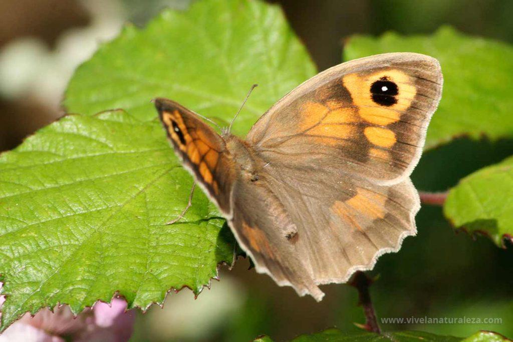 Mariposa loba hembra con las alas abiertas