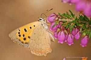 mariposa manto bicolor (Lycaena phlaeas)