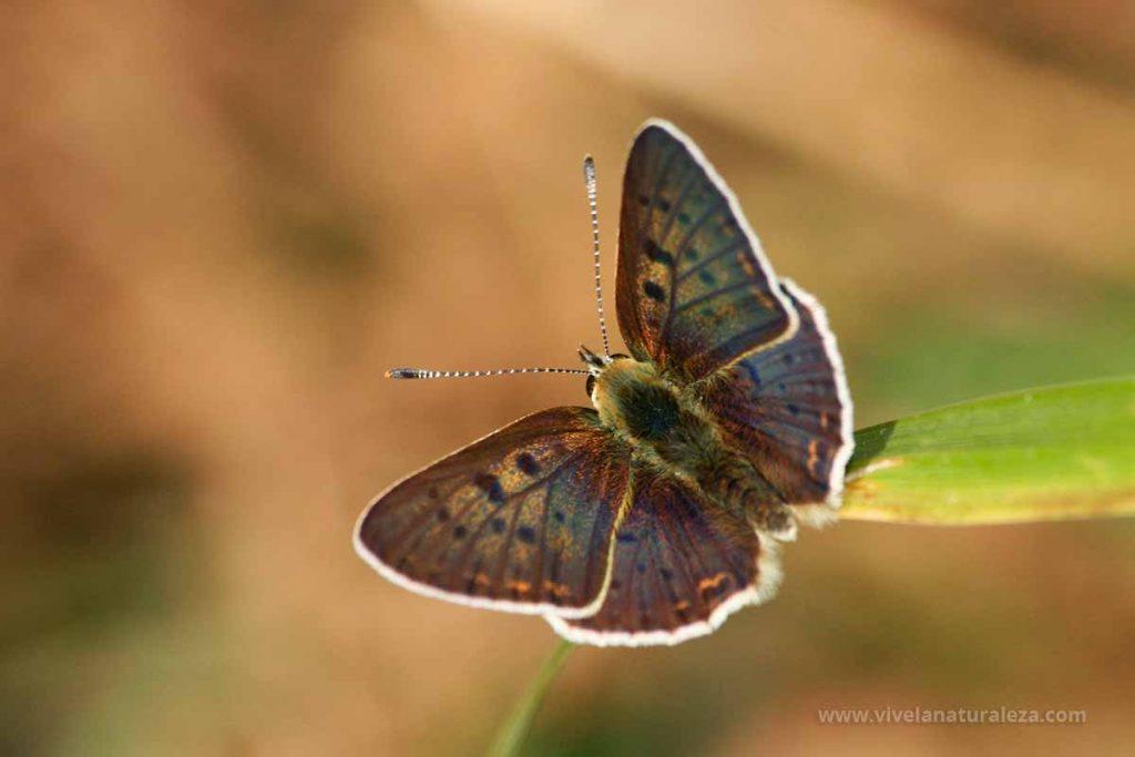 Macho de mariposa manto oscuro (Lycaena tityrus = Heodes tityrus)