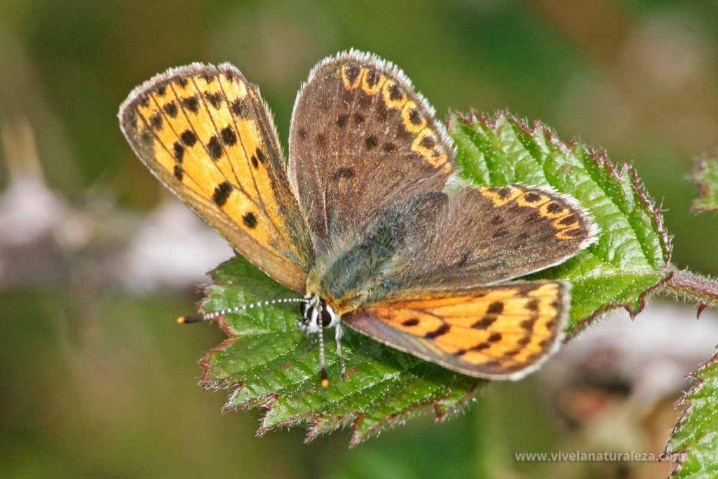 Hembra de la mariposa Manto oscuro (Lycaena tityrus = Heodes tityrus) con las alas abiertas.