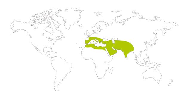 Mapa de distribución mundial de la mariposa gris estriada (Leptotes pirithous = Syntarucus pirithous)