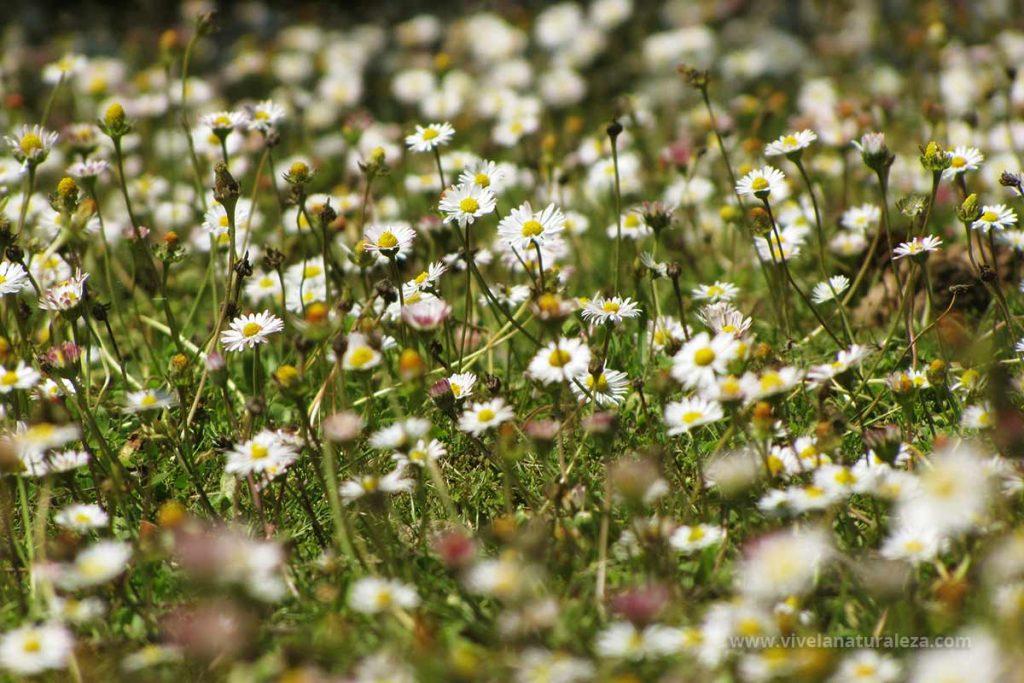 Pradera llena de flores de de margarita menor (Bellis perennis). Tambien llamada Bellorita, chirivita, maya.