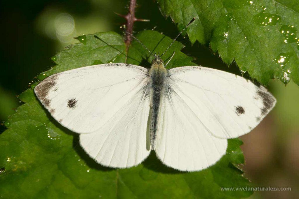 Blanca de la col macho (Pieris brassicae)
