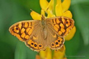Pararge aegeria – mariposa de los muros o maculada