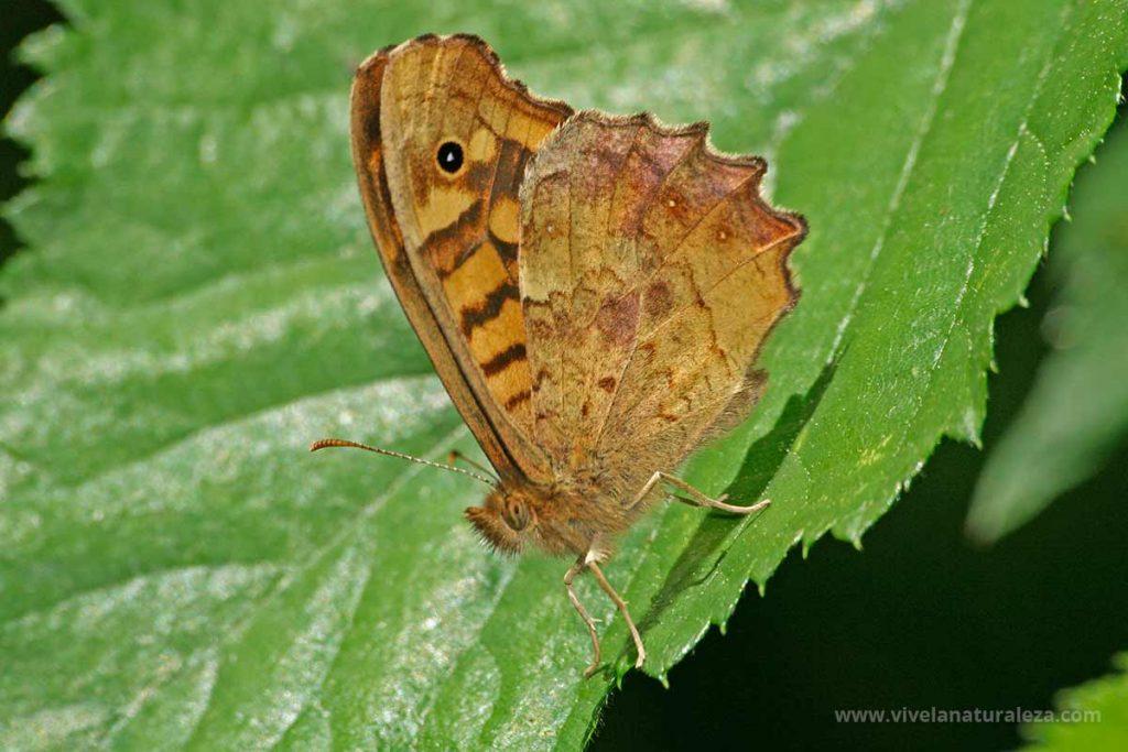 mariposa de los muros o maculada con las alas cerradas (Pararge aegeria)
