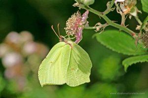 mariposa limonera (Limonera - Gonepteryx rhamni)