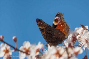 mariposa pavo real (Aglais io = Inachis io)