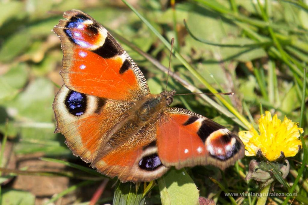 Mariposa pavo real con las alas abiertas (Aglais io,Inachis io, Nymphalis io, Papilio io)