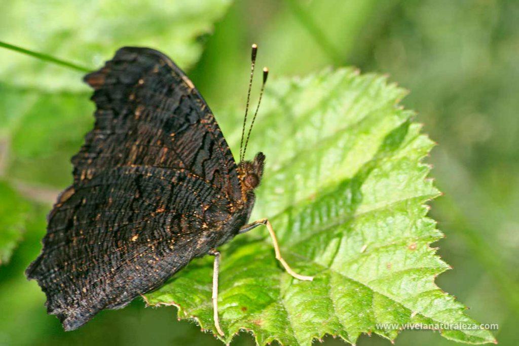 Mariposa pavo real con las alas cerradas (Aglais io,Inachis io, Nymphalis io, Papilio io)