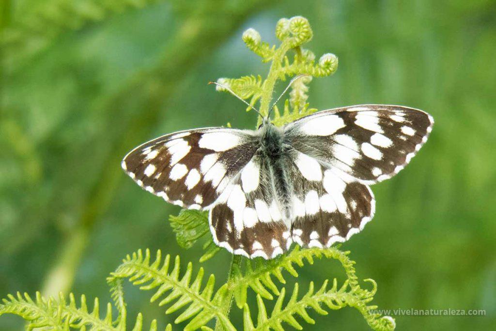 Mariposa medioluto norteña con las alas abiertas (Melanargia galathea)