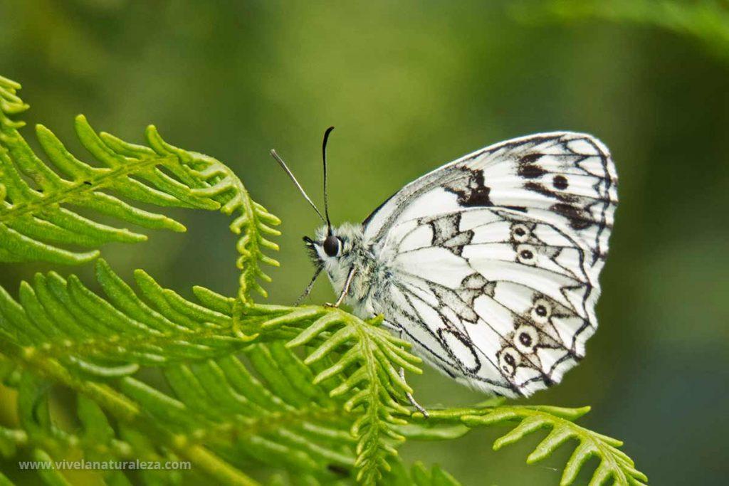 Mariposa medioluto norteña con las alas cerradas (Melanargia galathea)