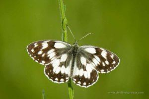 mariposa medioluto norteña (Melanargia galathea)