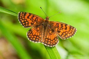 mariposa doncella de la centaurea (Melitaea phoebe)
