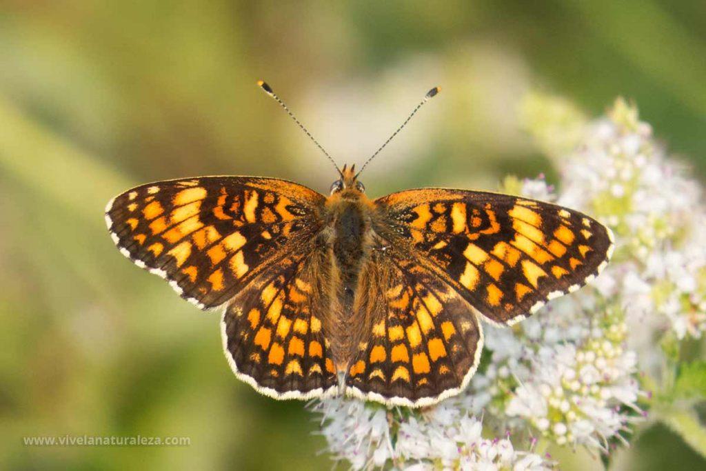 mariposa doncella de la centaura o doncella mayor (Melitaea phoebe, Mellicta phoebe) con las alas abiertas