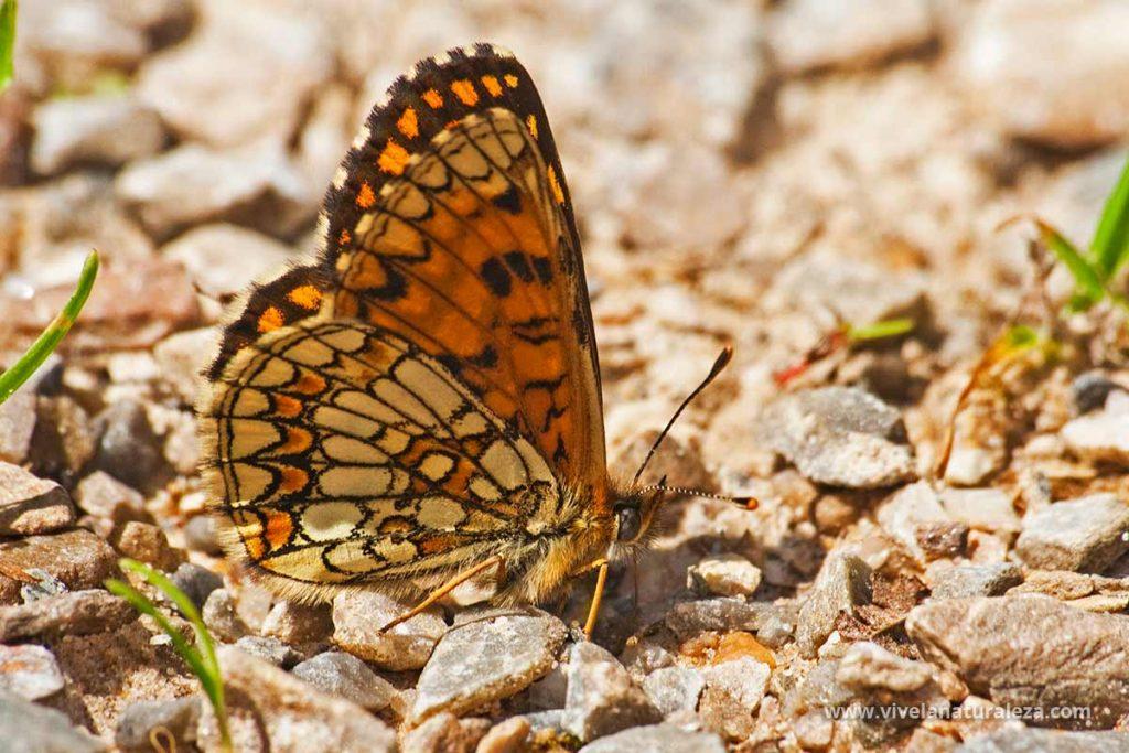 mariposa doncella de la centaura o doncella mayor (Melitaea phoebe, Mellicta phoebe) con las alas cerradas