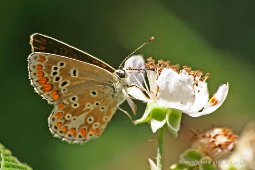 mariposa morena serrana (Aricia agestis)
