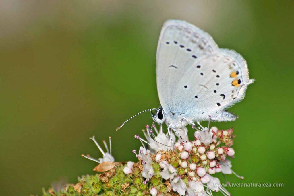 mariposa naranjitas rabicorta (Everes argiades = Cupido argiades)