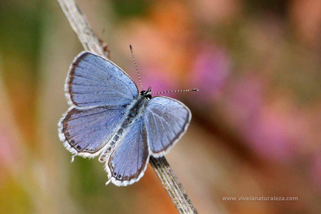 Mariposa Cupido argiades macho
